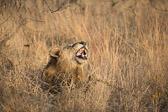 Laughing Lion, Yawning Lion, africa, male liion, bush, brush, lying down, lion, fangs, teeth, blood, sleeping, jungle